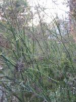 A Wilderness of Fennel