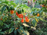 Habaneros ready for picking